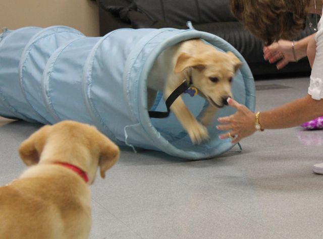 Labrador Retriever and Puppies Training