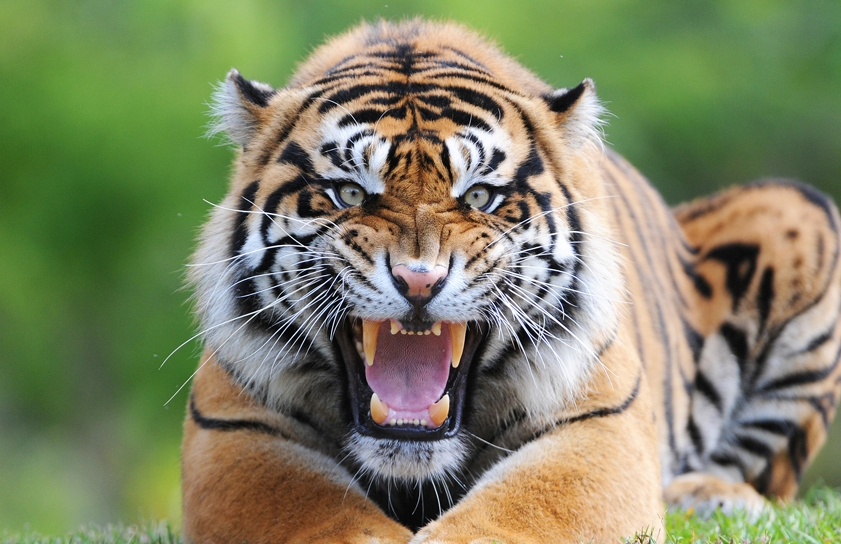 Tigers Killed Seven People in Northern India