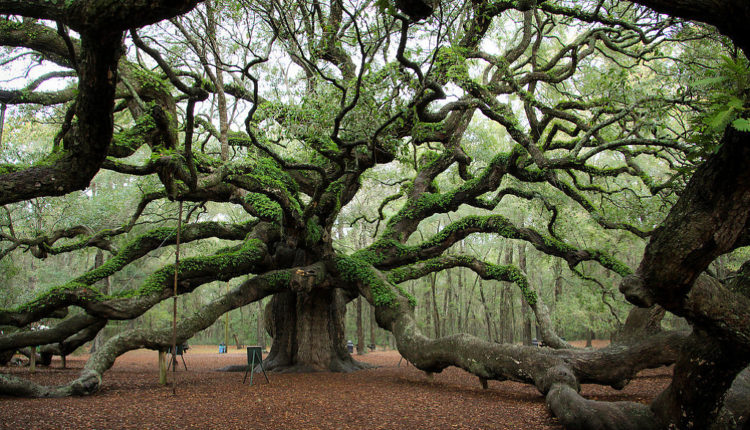 Angel Oak Tree Johns Island South Carolina USA