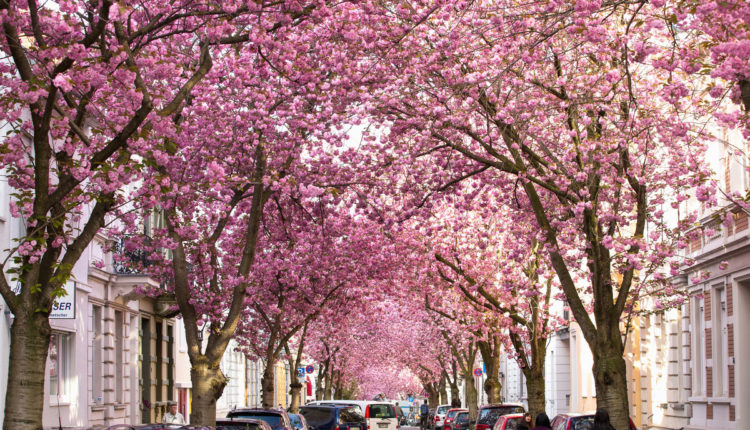 Cherry Trees Bonn Germany