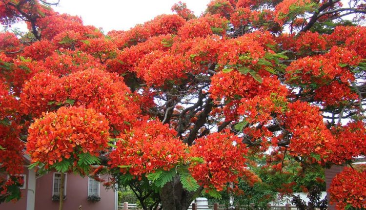 Flamboyant Tree Brazil
