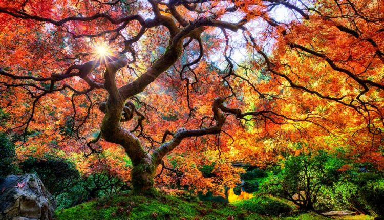 Maple Tree Oregon USA