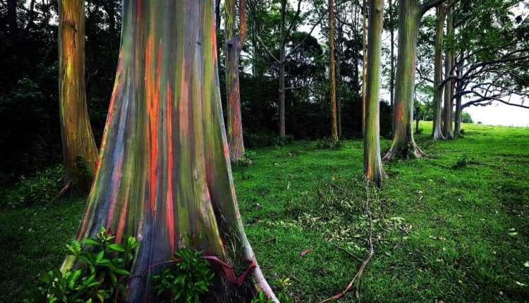 Rainbow Eucalyptus Tree Hawaii