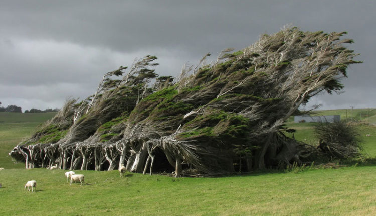 Windswept Trees in New Zealand
