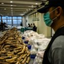 Customs Hong Kong finds 7200 Kilos of Elephant Tusks