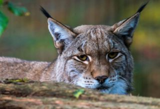 Escaped Lynx Shot Dead in case it Attacked Humans