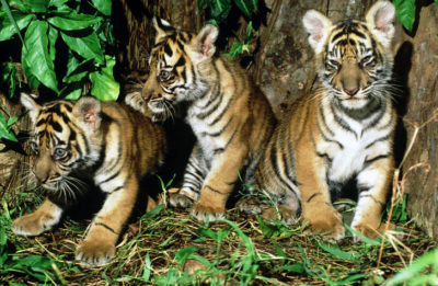 Siberian Tiger Population Doubled in One Year