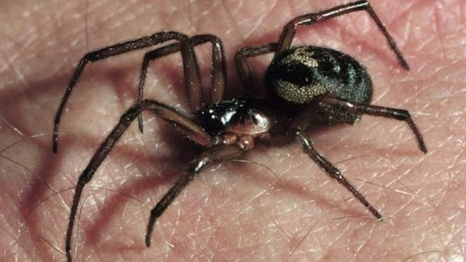 London Schools Closed by Poisonous Black Widow Spiders