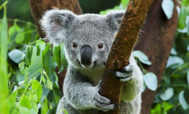 Koalas Extinct: There are Only 80000 Koalas Left in the World